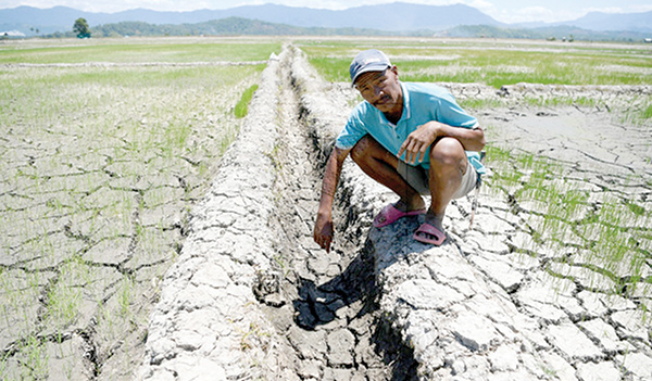 Padi fields in KB drying up | Daily Express Online - Sabah's
